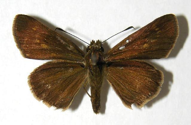 Image of <i>Mnasilus allubita</i> Butler 1877