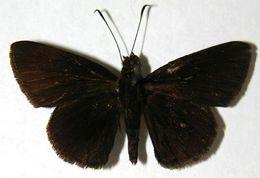 Image of <i>Sodalia sodalis</i> Butler 1877