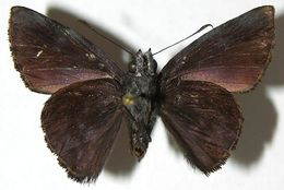 Image of Pellicia