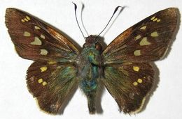 Image of <i>Thracides arcalaus</i>
