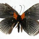 Image of <i>Hades noctula</i> Westwood (1851)