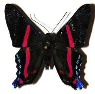 Image of <i>Ancyluris jurgensenii</i> Saunders 1849