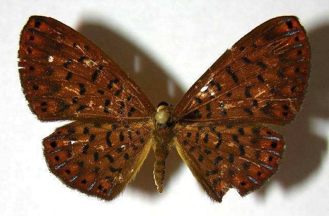 Image of Metacharis