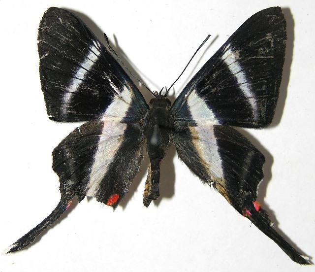 Image of <i>Rhetus dysonii</i> Saunders 1849