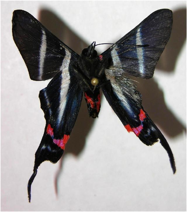 Image of <i>Rhetus castigatus</i> Stichel 1909