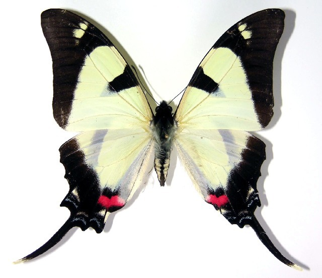 Image of <i>Protographium orabilis</i>