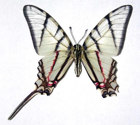 Image of <i>Protographium epidaus</i> (Doubleday 1846)