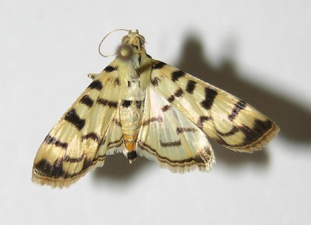 Image of Dichocrocis
