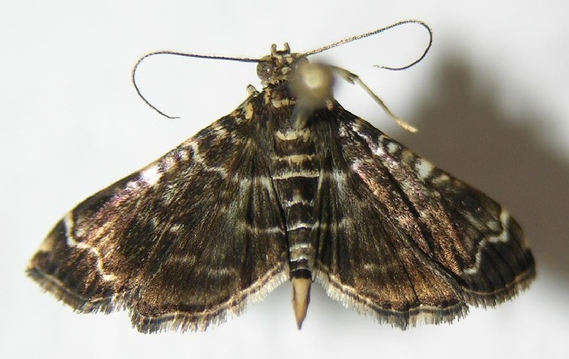 Image of <i>Dichocrocis tlapalis</i> Schaus