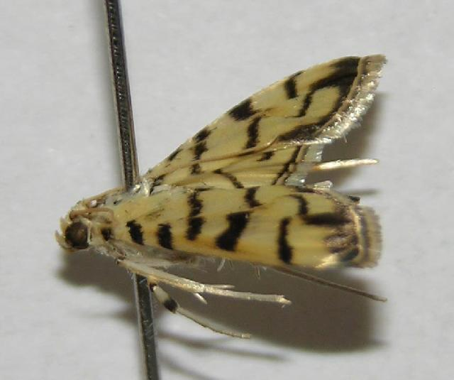 Image of Dichocrocis