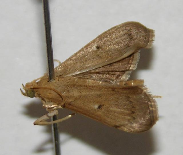 Image of <i>Geshna cannalis</i> Quaintance 1898