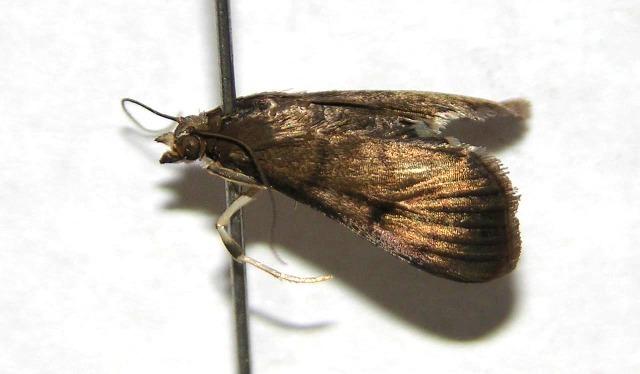Image of Pilemia