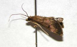 Image of <i>Pilemia periusalis</i>