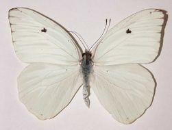 Image of Giant White