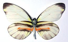 Image of <i>Perrhybris alethina</i> Butler 1872