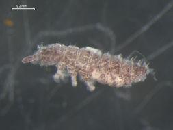 Image of <i>Ceratophysella denticulata</i> (Bagnall 1941)