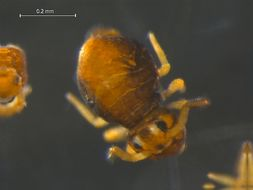 Image of Sminthurinus