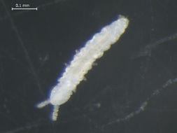 Image of TullbergiidaeGEN sp1