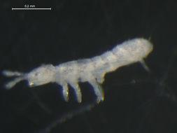 Image of <i>Folsomia palaearctica</i> Potapov & Babenko 2000