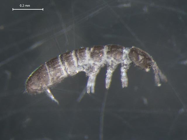 Image of <i>Folsomia elongata</i> (Macgillivray 1986)