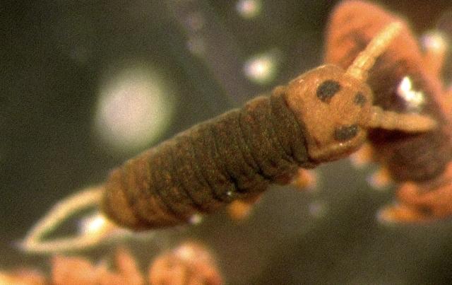 Image of <i>Podura aquatica</i> Linnaeus 1758