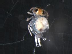 Image of Deuterosminthurus