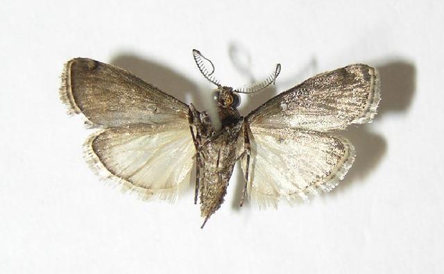 Image of <i>Dasyvesica lophotalis</i> Hampson 1906