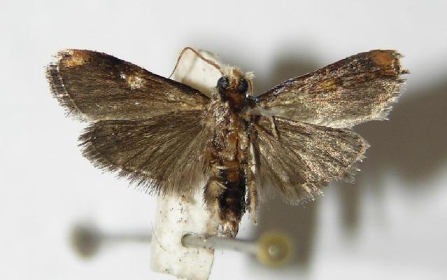 Image of <i>Cromarcha stroudagnesia</i>