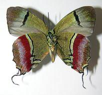 Image of Evenus