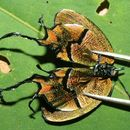 Image of <i>Arcas cypria</i>