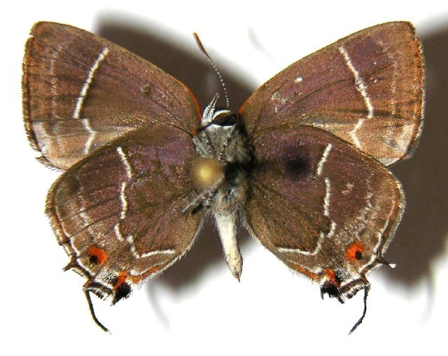 Image of <i>Thereus oppia</i> (Godman & Salvin 1887)