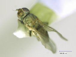 Image of <i>Pelomyiella mallochi</i> Sturtevant 1923