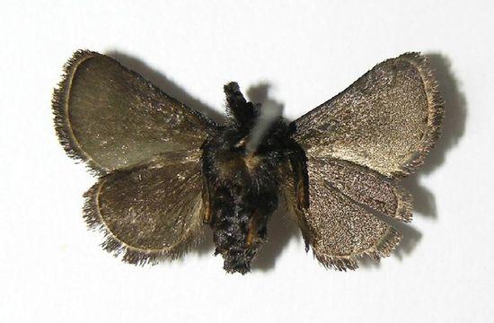 Image of <i>Epiperola vaferella</i> Dyar 1908