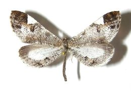 Image of <i>Macrosoma semiermis</i> Prout 1932
