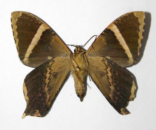 Image of <i>Coronidia orithea</i> Cramer