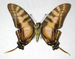 Image of <i>Protographium dioxippus</i> (Hewitson (1856))