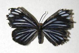 Image of <i>Pheles strigosa</i>