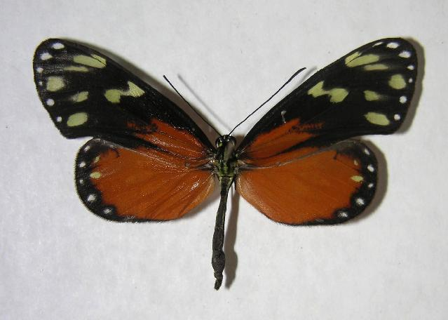 Image of Napeogenes