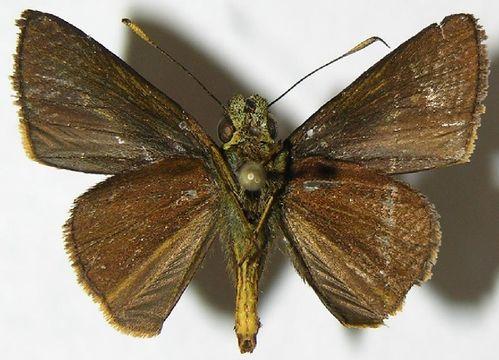 Image of Hesperiinae