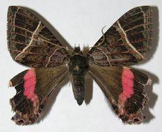 Image of Homidiana