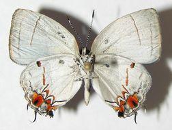 Image of <i>Iaspis andersoni</i>