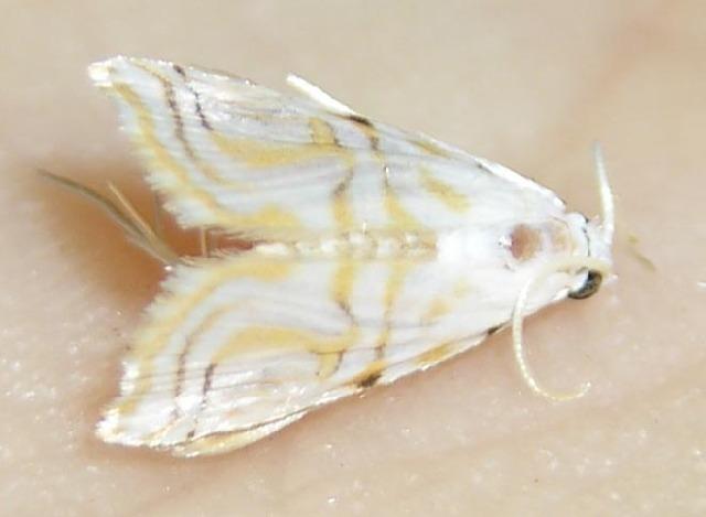 Image of Undulambia