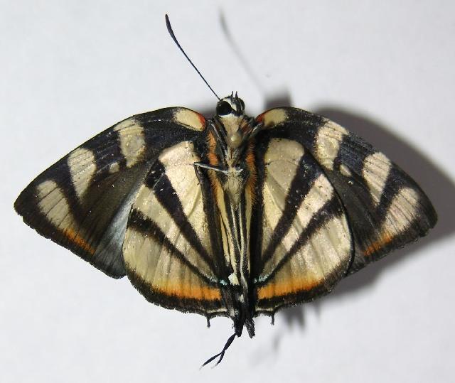 Image of <i>Panthiades phaleros</i>