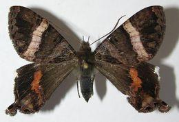 Image of <i>Coronidia leachii</i>