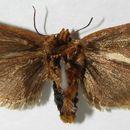 Image of <i>Isochaetes kenjii</i>