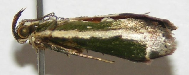 Image of <i>Anarnatula subflavida</i> Dyar 1914