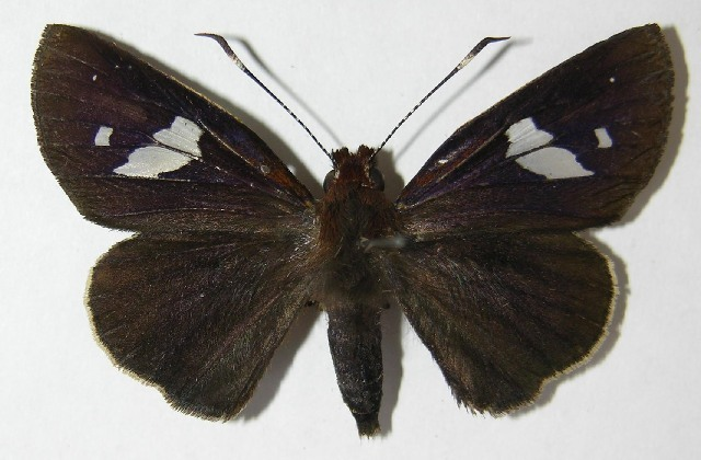 Image of Carystoides
