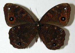 Image of Praepronophila