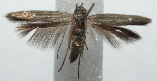 Image of scythriBioLep01