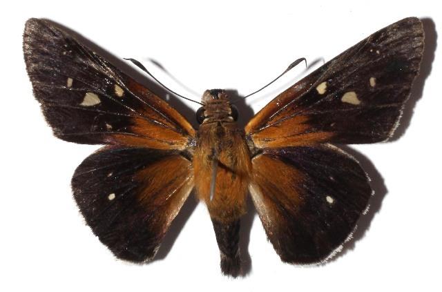 Image of Xeniades